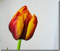 tulip-2326885_960_720